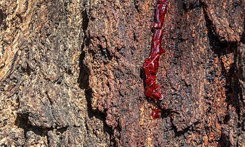 tree with sap oozing